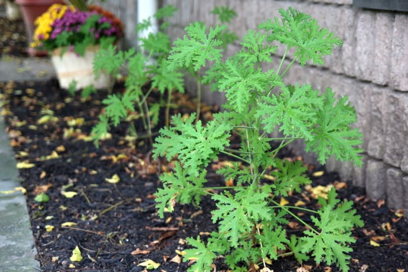2 Pack Mosquito Relief Citronella Plants Free Shipping Jane