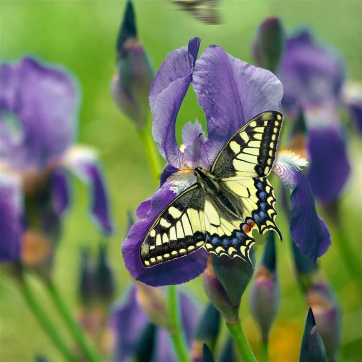 Giant Purple Siberian Iris Flower Bulbs | 6 Pack