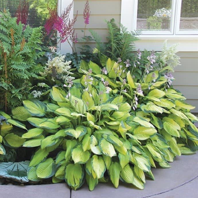 Perennial Hosta Plants 6 Bare Roots Jane