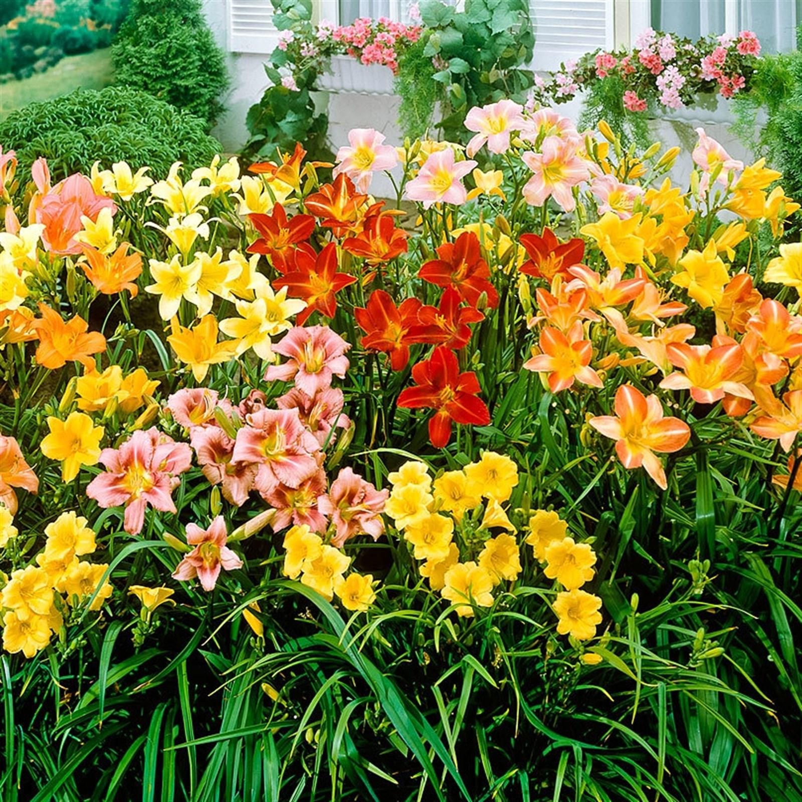 Lovely Lily Flower Bulbs 4 Varieties Jane